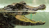 Crocodile under water — Stock Photo
