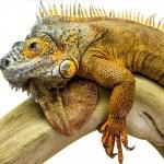 Постер, плакат: Iguana reptile animal