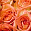 Roses rose flowers — Stock Photo