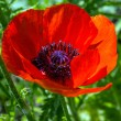 Stock Photo: Petals of a poppy