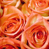 Rosen rosa Blumen — Stockfoto