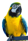 Parrot on white background — Stock Photo