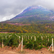 Vineyard field in mountain — Stock Photo