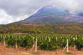 Campo de vinhedo na montanha — Fotografia Stock