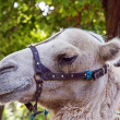 Stock Photo: Camel portrait