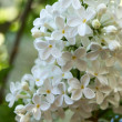 Flower lilac — Stock Photo