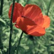 Poppy in green background — Stock Photo