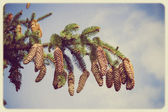Branch of spruce and pine cone vintage — Photo