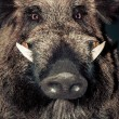 Wild boar — Stock Photo #36612041