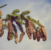 Branch of spruce and pine cone — Stock Photo