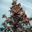 Fir tree branches and cones — Stockfoto