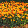 Stock Photo: Field of tulips