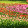 Field of tulips — Stock Photo #37685821