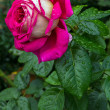 Rose garden — Stock Photo #38208299