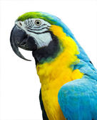 Parrot blue yellow — Stock Photo