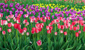 Beautiful spring flowers, tulips — Stock Photo