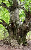 Oak in forest — Stock Photo
