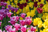 Spring flowers, tulips — Stock Photo