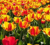 Tulipany, rosnące w ogrodzie — Zdjęcie stockowe