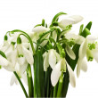 Spring snowdrop flower — Stock Photo