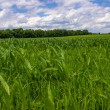 Row of corn on an agricultural field. — Stock Photo #42754051
