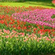 Field of tulips — Stock Photo #42777445