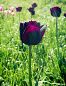 Tulpen spring flowers, tulips — Stock Photo