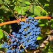 Ripe cabernet grapes — Stock Photo #43376907