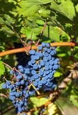 Ripe cabernet grapes — Stock Photo