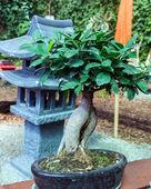 Bonsia tree — Stock Photo
