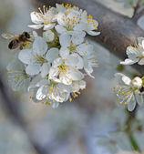 Flower in fruit garden honey bee — Stock Photo