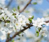 весенняя муха мед пчела — Стоковое фото