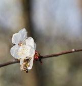 медоносная пчела — Стоковое фото