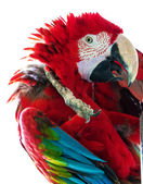 Parrot red — Stock Photo
