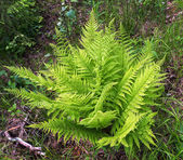 Fern green in forest summer — Stock Photo