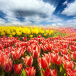 Spring flowers tulips and blue sky — Stock Photo #50375455
