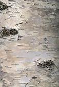 Cortex tree birch — Stock Photo
