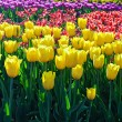 Tulips background — Stock Photo #51073765