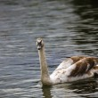 Swan and lake — Stock Photo