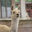 Llama — Stock Photo
