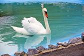 Beautiful White Swan — Stock Photo