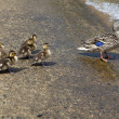 Stock Photo: Мом duck and ducklings
