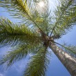 Palm tree  — Foto de Stock