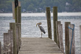 Great Blue Heron- successful fishing — Stockfoto