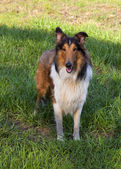 Rough collie - Scottish shepherd — Stock Photo