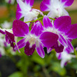 Pink Singapore Orchids — Stock Photo
