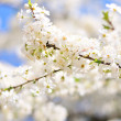 Fresh blossom — Stock Photo