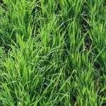 Green grass — Stock Photo #1735850