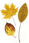 Yellow autumn leaves isolated on a white background — Stock Photo