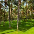 Palms at Tenerife - Canary islands — Stock Photo